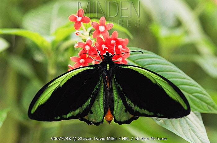 Male Australian birdwing butterfly (Ornithoptera priamus) Western Australia  -  Steven David Miller/ npl
