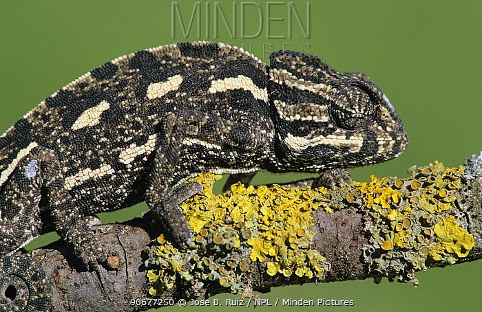 European chameleon (Chamaeleo chamaeleo), Spain  -  Jose B. Ruiz/ npl