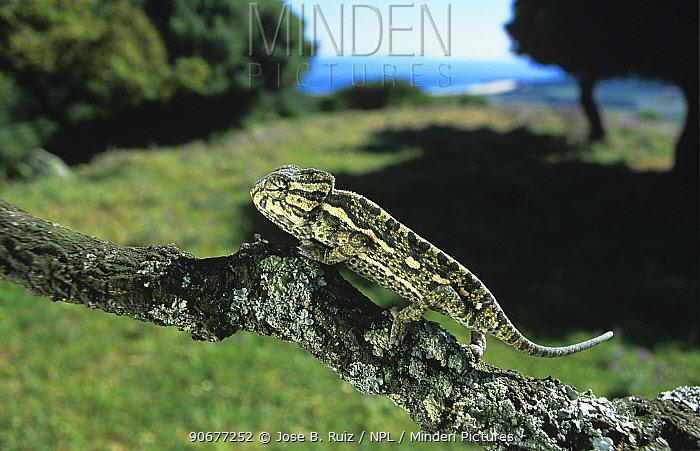 European chameleon (Chamaeleo chamaeleon), Spain  -  Jose B. Ruiz/ npl