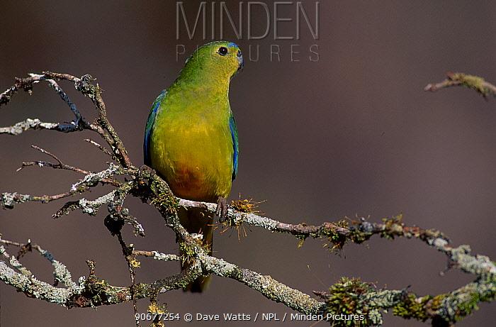 Orange bellied parrot male (Neophema chrysogaster) Tasmania, Australia Critically endangered  -  Dave Watts/ npl