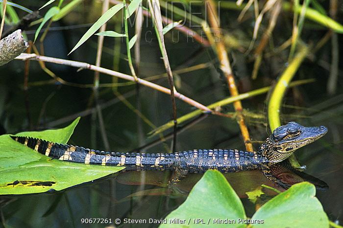 American alligator (Alligator mississippiensis) 8-week hatchling, Everglades, Florida, USA  -  Steven David Miller/ npl