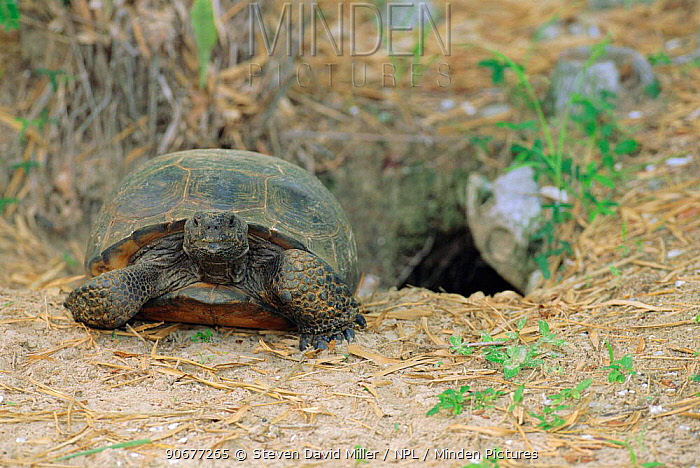 Florida gopher tortoise at burrow entrance (Gopherus polyphemus) FL, USA Doreshan  -  Steven David Miller/ npl