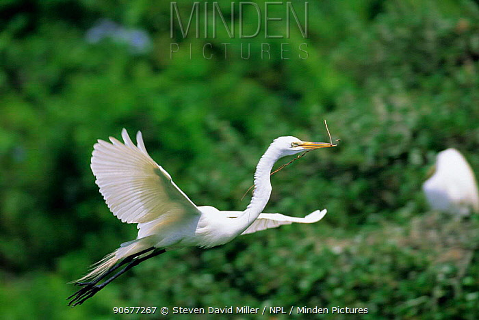 Great egret flying with nest material (Ardea alba) FL, US  -  Steven David Miller/ npl