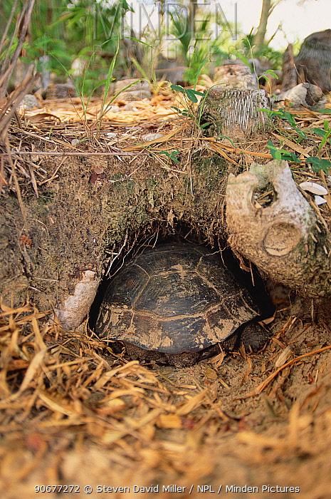 Florida gopher tortoise entering burrow (Gopherus polyphemus) FL, USA, North America  -  Steven David Miller/ npl