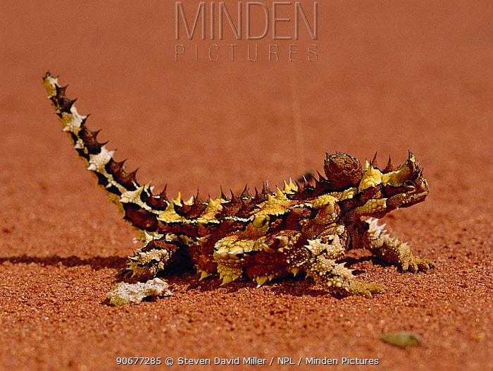 Thorny devil (Moloch horridus) Uluru NP, Central Australia  -  Steven David Miller/ npl