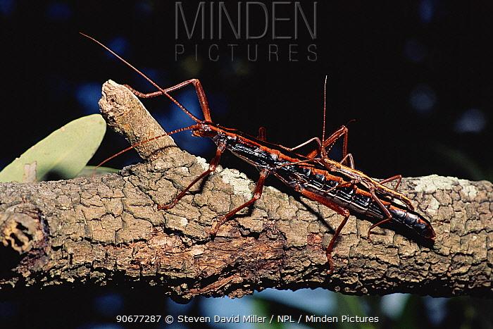Giant walking stick pair mating (Megaphasma dentricus) Florida Keys, USA  -  Steven David Miller/ npl