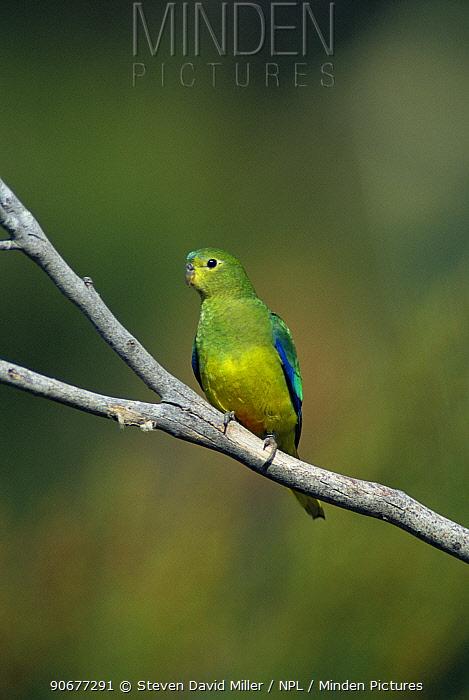 Orange bellied parrot (Neophema chrysogaster) Southwest NP, Tasmania, Australia, Critically endangered, only 200 left  -  Steven David Miller/ npl