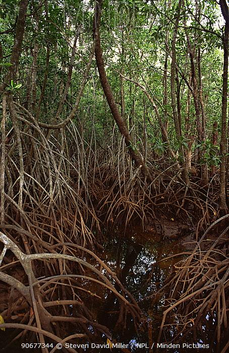 Mangrove swamp at Cape Tribulation, Queensland, Australia  -  Steven David Miller/ npl