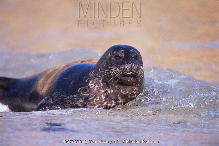 Common, Harbor seal on beach (Phoca vitulina) California USA  -  Tom Vezo/ npl