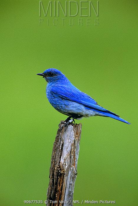 Mountain bluebird male (Sialia currucoides) Montana, USA  -  Tom Vezo/ npl