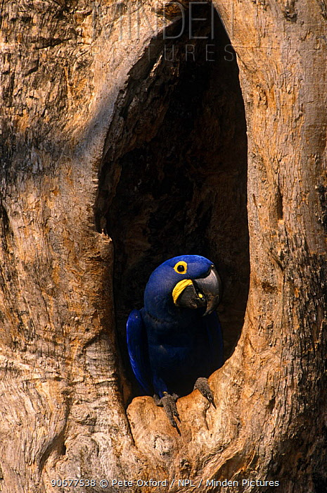 Hyacinth macaw in nest hole (Anodorhynchus hyacinthinus) Pantanal, Brazil  -  Pete Oxford/ npl
