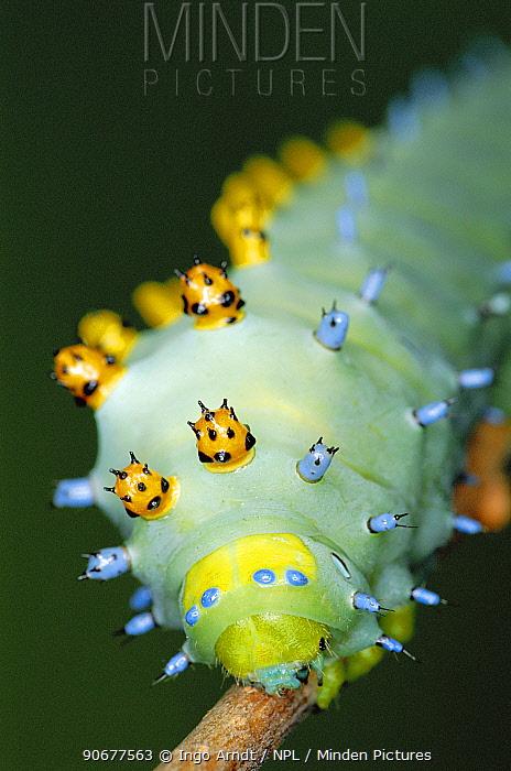 Cecropia moth caterpillar with warning coloration (Hyalophora cecropia) North America  -  Ingo Arndt/ npl
