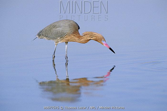 Reddish egret fishing, breeding plumage (Egretta rufescens) Fort Meyers beach, Florida, USA  -  Thomas Lazar/ npl