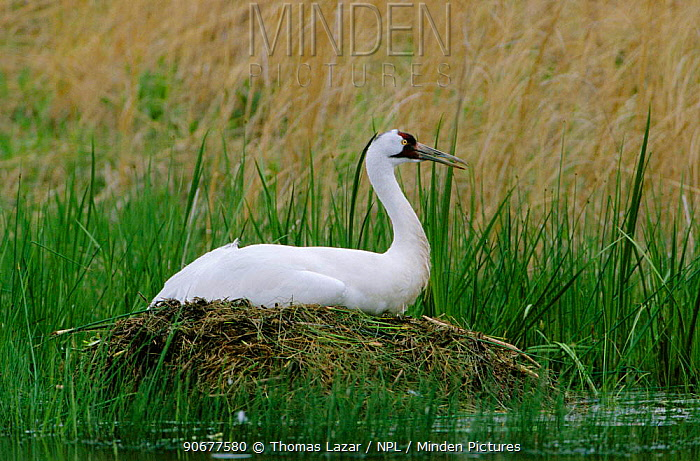 Whooping crane sitting on nest (Grus americanus) Wisconsin, USA  -  Thomas Lazar/ npl