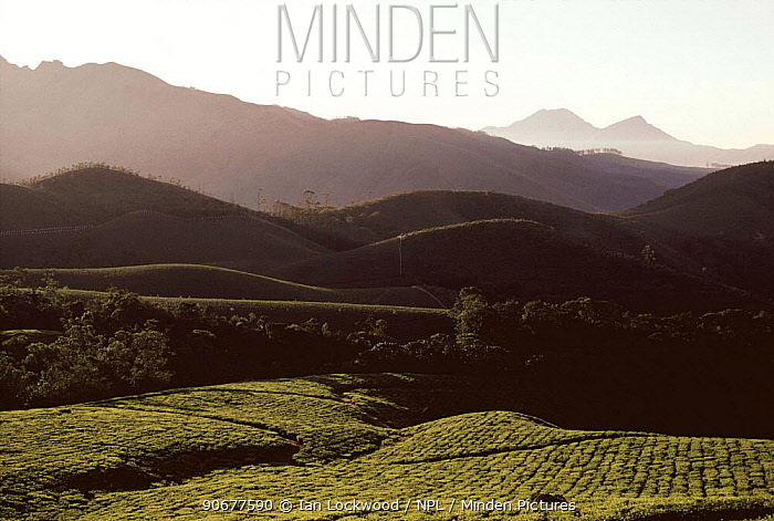 Tea plantations in the hills near Munnar (Tetley tea), High range Western Ghats, Kaerala, India  -  Ian Lockwood/ npl