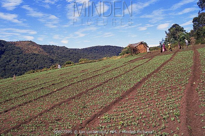 Un-terraced farm destroys topsoil near endagnered Shola habitat, Tamil Nadu, India  -  Ian Lockwood/ npl