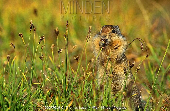 Columbian ground squirrel (Spermophilus columbianus) Glacier NP, Montana, Canada  -  Thomas Lazar/ npl
