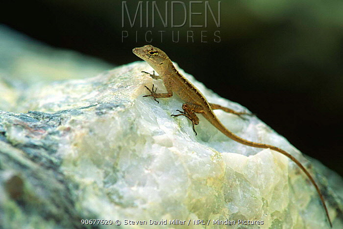 Brown, Cuban anole (Anolis sagrei) native to West Indies but introduced species to Florida, USA  -  Steven David Miller/ npl