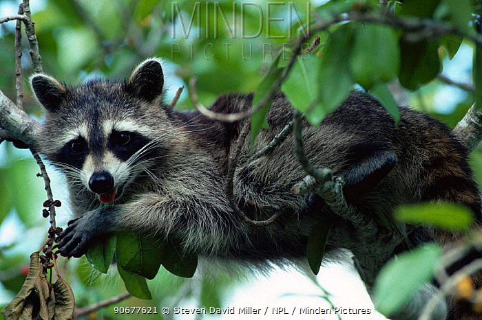 Southern racoon (Procyon lotor) feeding on berries and resting in tree Ding Darling WR,  -  Steven David Miller/ npl
