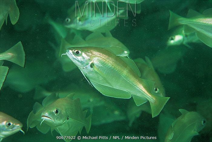 Pouting, Bib (Trisopterus luscus) Channel Islands, UK  -  Michael Pitts/ npl