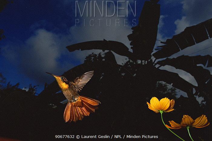 Hummingbird (Trochilidae) flying from flower at night, Tobago  -  Laurent Geslin/ npl