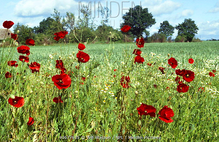 Common poppy (Papaver rhoeas) and Scented mayweed growing beside crops in farmland, UK  -  Will Watson/ npl