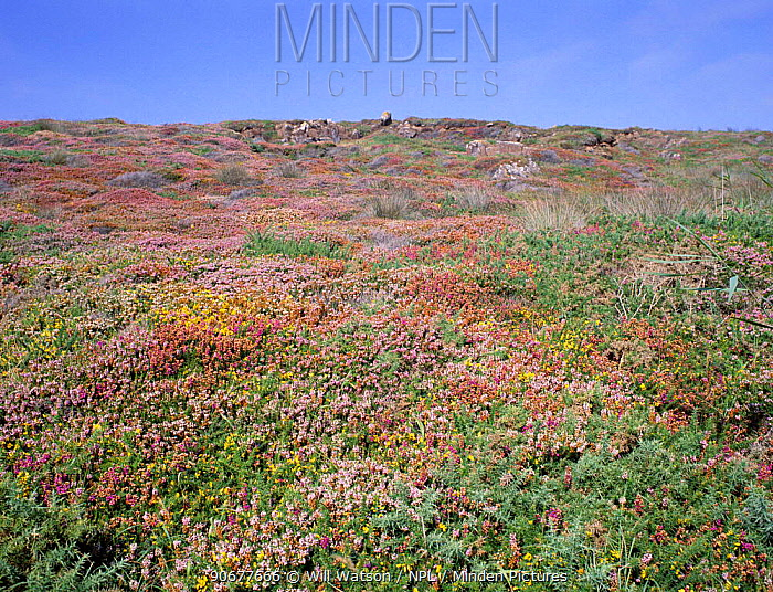 Mixed coastal heathland with Heather and Gorse, Kynance Cove, Cornwall, UK Erica vagans Ulex  -  Will Watson/ npl