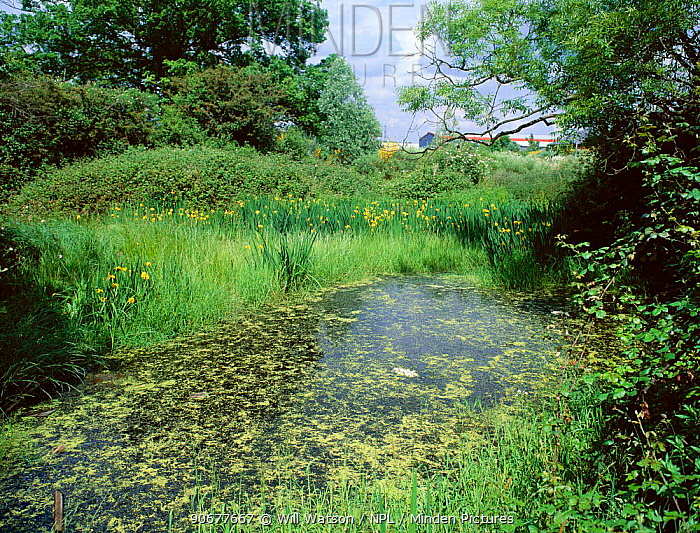 Pond habitat of Great crested newts Yellow iris and Floating sweet grass  -  Will Watson/ npl