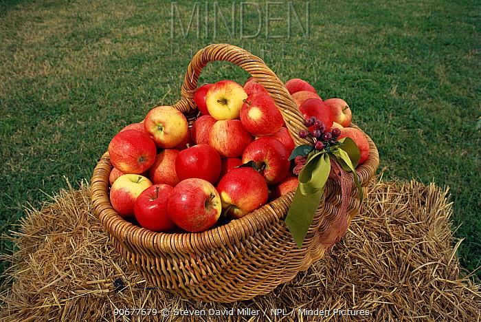 Cultivated apples in basket, Australia  -  Steven David Miller/ npl