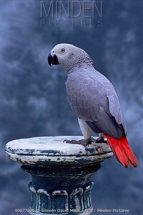 Congo african grey parrot (Psittacus erithacus erithacus) captive 11-months-old  -  Steven David Miller/ npl