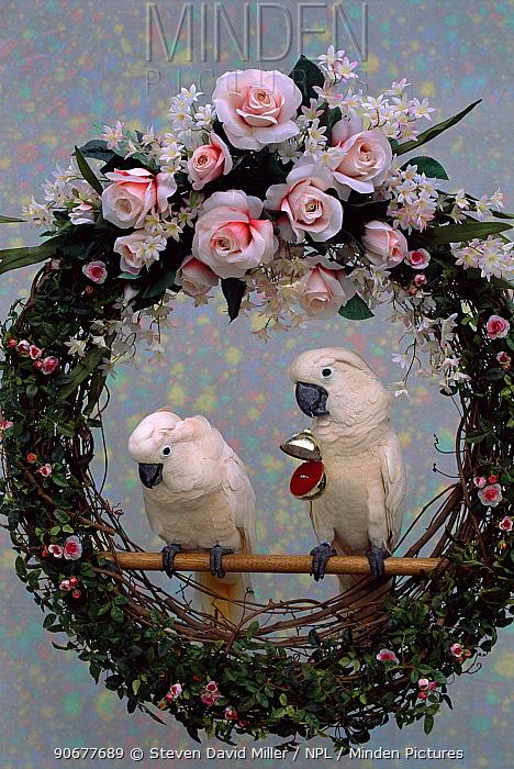 Salmon crested, moluccan cockatoo pair in wedding wreath (Cacatua moluccensis) captive  -  Steven David Miller/ npl