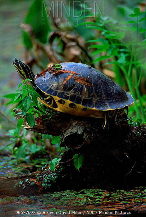Florida red bellied turtle (Pseudemys nelsoni) sunning, Florida, USA  -  Steven David Miller/ npl