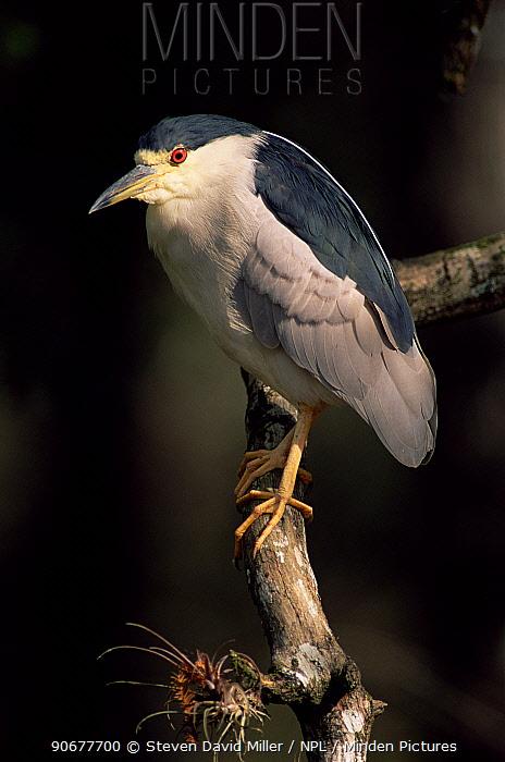 Black crowned night heron portrait (Nycticorax nycticorax) Florida, USA  -  Steven David Miller/ npl