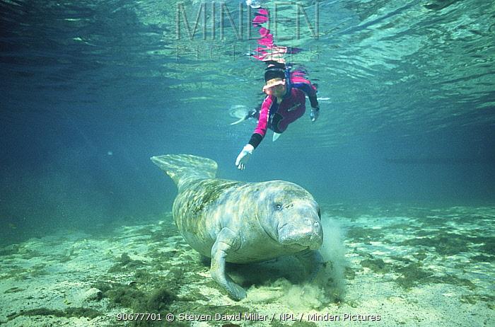 Diver with Florida manatee (Trichechus manatus latirostris) Florida, USA  -  Steven David Miller/ npl