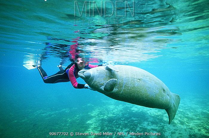 Diver with friendly Florida manatee (Trichechus manatus latirostris) Florida, USA  -  Steven David Miller/ npl