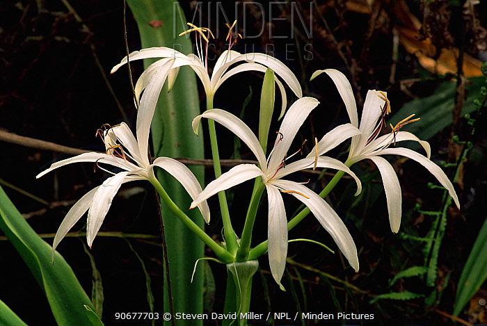 Swamp lily (Crinum americanum) food of white tailed deer, Florida, USA  -  Steven David Miller/ npl