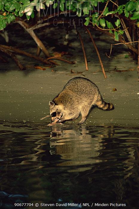 Raccoon (Procyon lotor) feeds on fish left by fishermen in mangrove swamp, Florida, USA  -  Steven David Miller/ npl