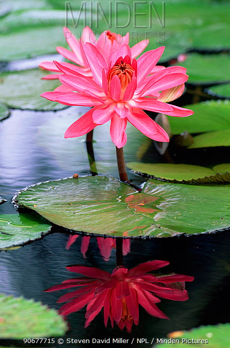 Cultivated waterlily flower (Nymphaea sp) Florida, USA  -  Steven David Miller/ npl