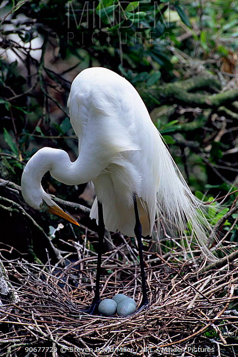 Great egret tending eggs in nest (Casmerodius, Ardea albus) Florida, USA  -  Steven David Miller/ npl