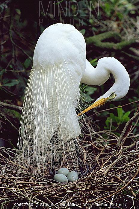Great egret preening at nest (Casmerodius, Ardea albus) Florida, USA  -  Steven David Miller/ npl