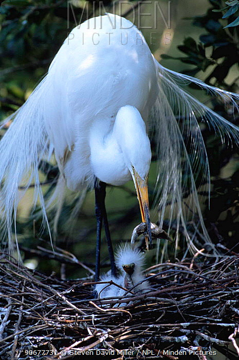 Great egret regurgitates food for chick (Casmerodius, Ardea albus) Florida, USA  -  Steven David Miller/ npl
