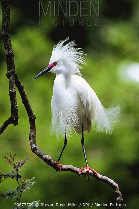 Snowy egret portrait, pink lores of breeding plumage (Egretta egret) Florida, USA  -  Steven David Miller/ npl
