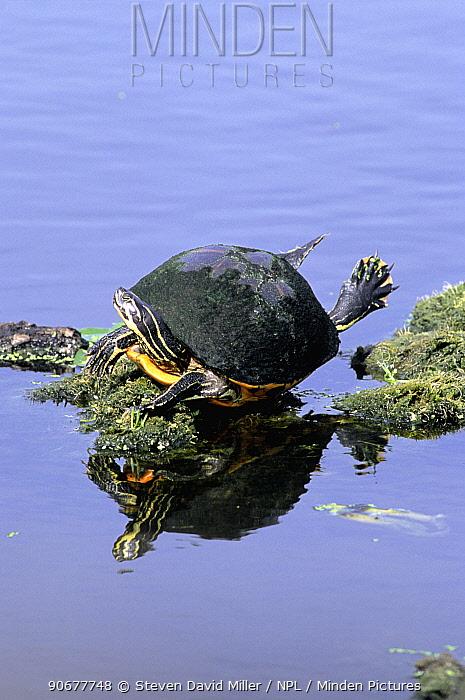 Florida red bellied turtle 'flying' sunning on log (Pseudemys nelsoni) Florida, USA  -  Steven David Miller/ npl