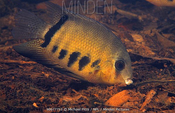 Deacon fish (Heros severus) Amazon, Brazil  -  Michael Pitts/ npl