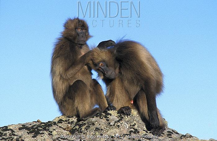 Subadult male Gelada baboons grooming, Simien Mt NP, Ethiopia (Theropithecus gelada)  -  Ingo Arndt/ npl
