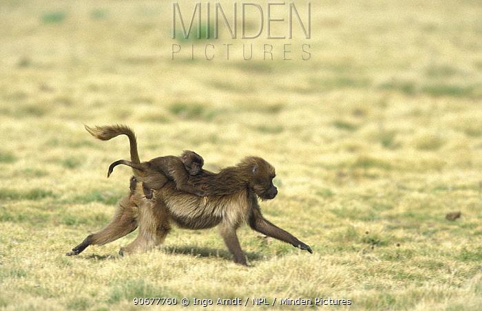 Gelada baboon female runs carrying baby on back, Simien Mt NP, Ethiopia (Theropithecus gelada)  -  Ingo Arndt/ npl