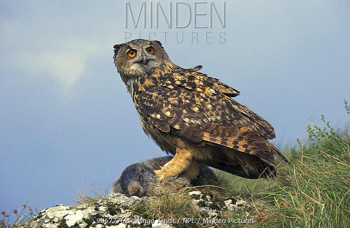 Eagle owl (Bubo bubo) with Alpine marmot prey (Marmota marmota) Austria Hohe Tauern NP  -  Ingo Arndt/ npl
