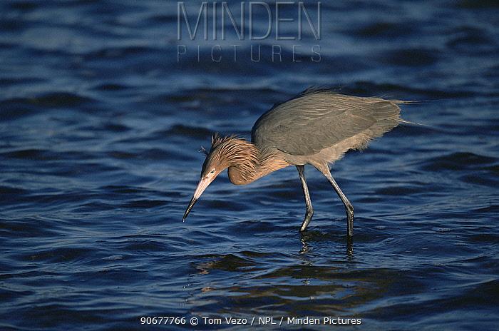 Reddish egret fishing (Egretta rufescens) Arizona, USA  -  Tom Vezo/ npl