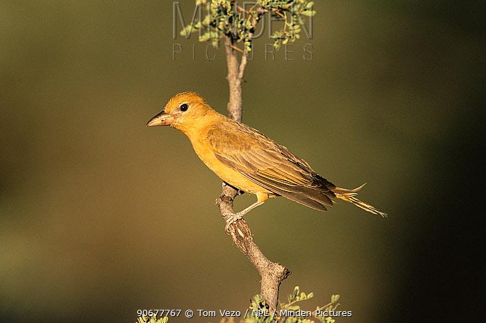 Summer tanager, female with tail frayed from nesting (Piranga rubra) Arizona, USa  -  Tom Vezo/ npl