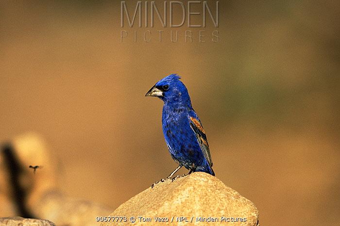 Blue grosbeak, male (Guiraca caerulea) Arizona, USA  -  Tom Vezo/ npl
